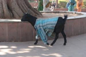 Koza w koszuli